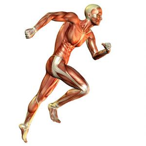 Músculos-que-intervienen-en-el-running-